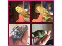Few hand tame Baby Budgies