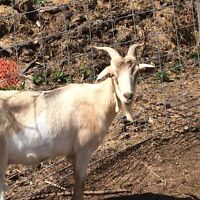 Young Goats for Sale