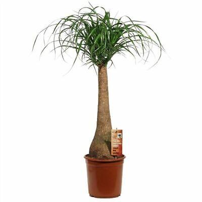Beaucarnea recurvata plant in a 24cm pot.  Ponytail Palm.   90cm tall
