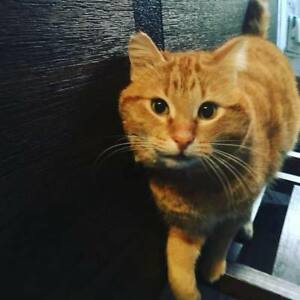 Lost Cat Fort Garry  - Harry - Male Orange Tabby