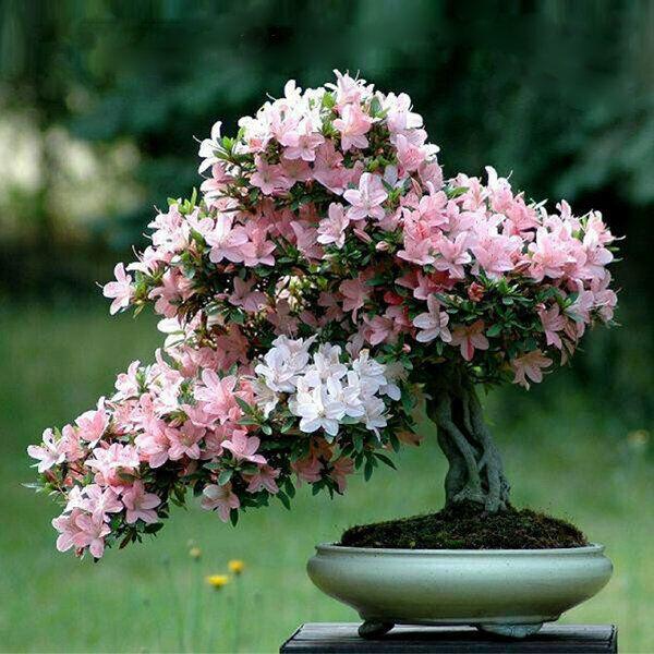 10 Cherry Blossom Bonsai Tree Seeds Sakura Fower Beautiful Pink Uk Seller Ebay