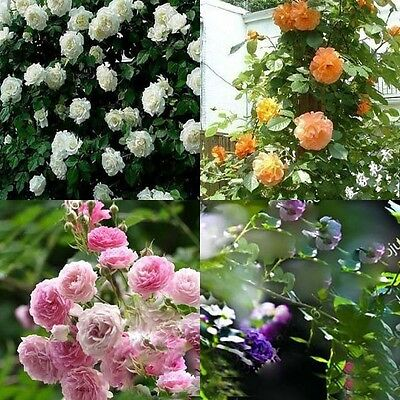 New 100pcs Climbing Rose Seeds Climber Perennial ...