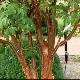 acer griseum (paperback maple) trees