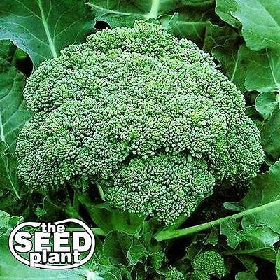 Calabrese Broccoli Seeds -250 SEEDS-SAME DAY SHIPPING