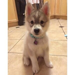 Looking for a husky!!!