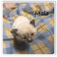 UPDATED: 6 Siamese Kittens For Sale -- 2 males still available!!