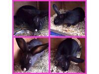 16 week old rabbit