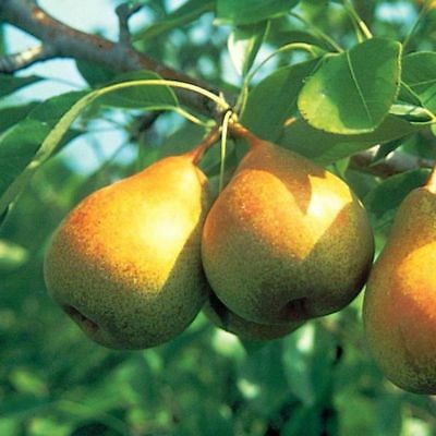 10 Cuttings of Bartlett Pear Trees for Propagation Cold -
