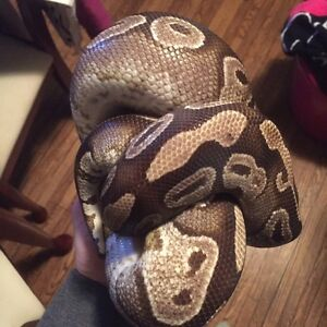 Mojave Ball Python (2014 Female)