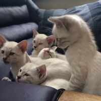 ~~~(SLP) Snow Bengal kittens (ready to go)~~~