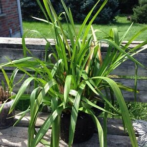 Orchid Plants for Sale London Ontario image 3