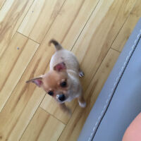 Adorable Pureed CHIHUAHUA puppy!!!