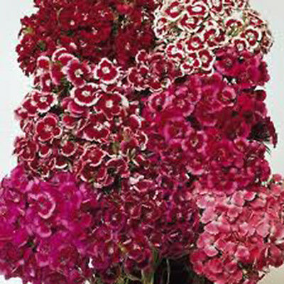 SWEET WILLIAM 100+ SEEDS ORGANIC, BEAUTIFUL CLUSTERS ...