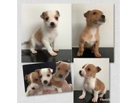 Chihuahua x Jack Russell Pups.