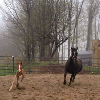2015 Beautiful Athletic Warmblood Filly