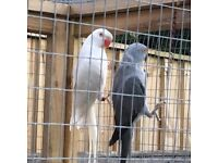 Grey and white ringneck hens