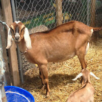 Friendly Registered Nubian Goat with two 3/4 Nubian doelings