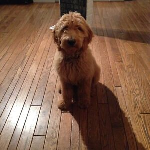 Looking for 2+ goldendoodle or labradoodle  Sarnia Sarnia Area image 1