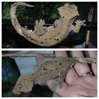 Crested gecko juvies and hatchlings