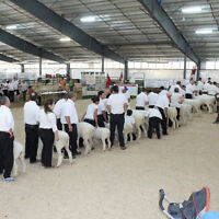 Purebred Sheep Breeder's of Ontario Sale (Selling Rams and Ewes)