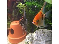 Angel fish pair of.
