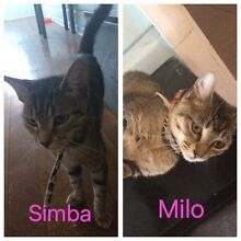 2 Very Much Loved Domestic Short Haired Cats Free To GOOD HOME ONLY! East Maitland Maitland Area Preview