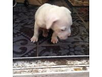 America bulldog puppy for sale