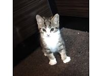 Persian Kitten 9weeks