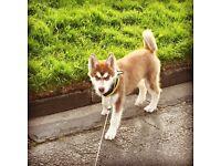 5 month husky