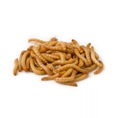 1200 Large Live Mealworms Raised in the Pacific Northwest PNW Feeders or Breed