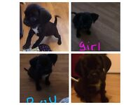 **F1B Puggle puppies ready now **