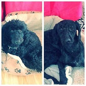 Beautiful male poodle 2 years old KC reg