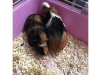 Guinea pigs x 2