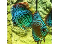Discus juveniles for sale. Ready early December. Price on application
