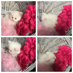 CHAMPION BLOODLINE PERSIAN & HIMALAYAN KITTENS AVAILABLE