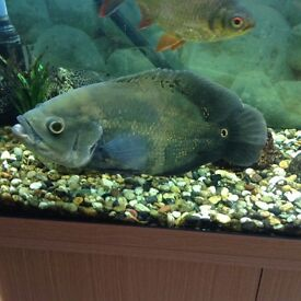 Very large Oscar tropical fish