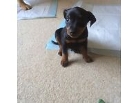 Miniature pinscher 6month old