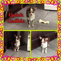 Superbe petit chiot Chihuahua TOY prêt à nous quitter!!!!!