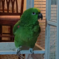 double yellow naped amazon parrot HUGE PARROT, only $3000