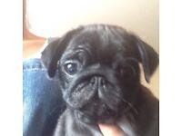Full Pug babies ONE GIRL LEFT !!