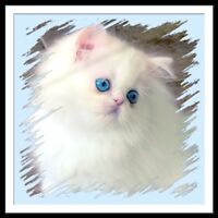 CFA reg'd Blue Eyed White Persian Kitten