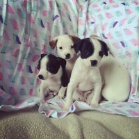 Amazing Jackchi Puppies!