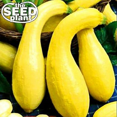 Crookneck Yellow Squash Seeds - 25 SEEDS-SAME DAY SHIPPING