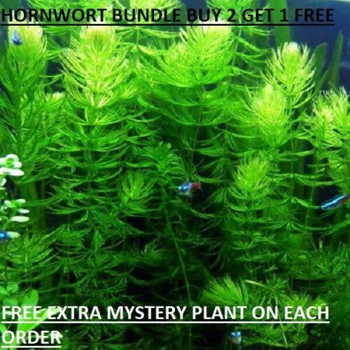 Hornwort  Ceratophyllum Live Aquarium Pond Plant planted tank BUY2GET1FREE