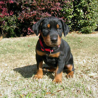 Looking For A Pure Breeded Doberman puppy **Have to see them 1st