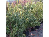 Portuguese Laurel Hedging Plants