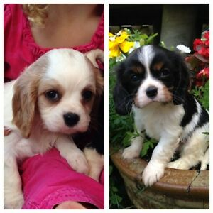Cavalier King Charles Spaniel - 2 Males available