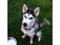 Husky 7 months old pedigree kc reg with papers