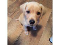KC registered golden Labrador puppy for sale