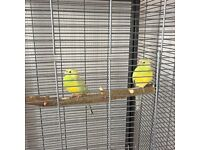 Two pretty young Red Rump Parakeets ��40 just for the birds or ��60 for the cage and food as well